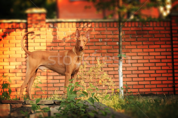 The Pharaoh hound is out in the backyard Stock photo © goroshnikova