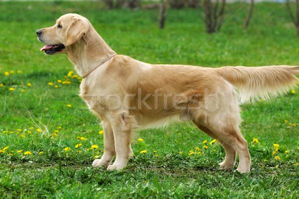 Hond golden retriever portret grappig jonge glimlachend Stockfoto © goroshnikova