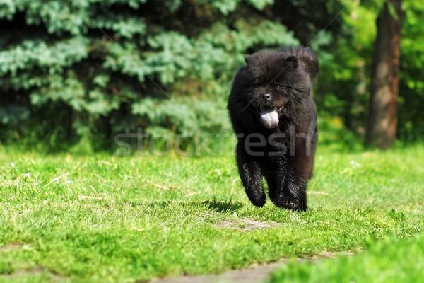 красивой пушистый редкий черный цвета Сток-фото © goroshnikova