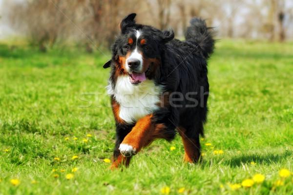 Stok fotoğraf: Mutlu · güzel · bernese · dağ · köpeği · eğlence · yaz · açık · havada