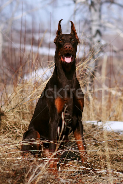 beautiful purebred brown Doberman dog Stock photo © goroshnikova