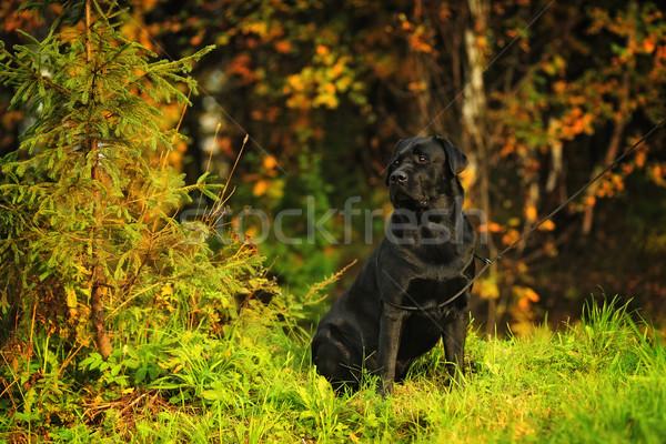 Zwarte mooie hondenras labrador retriever vergadering najaar Stockfoto © goroshnikova