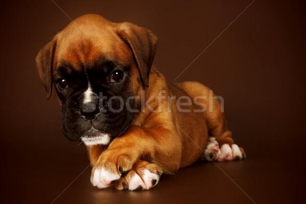 Bonitinho triste cachorro boxeador mentiras Foto stock © goroshnikova