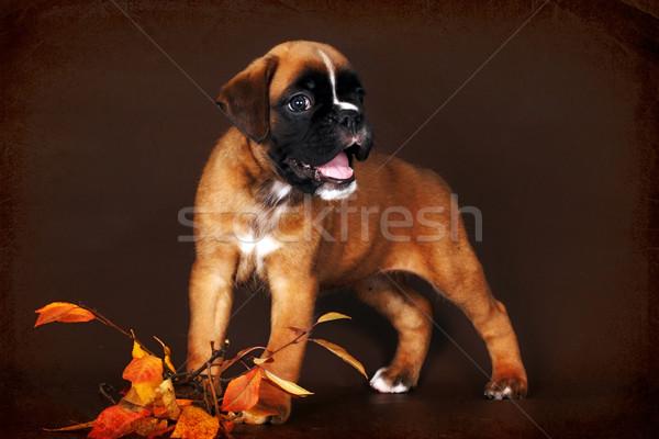 funny red puppy boxer  Stock photo © goroshnikova
