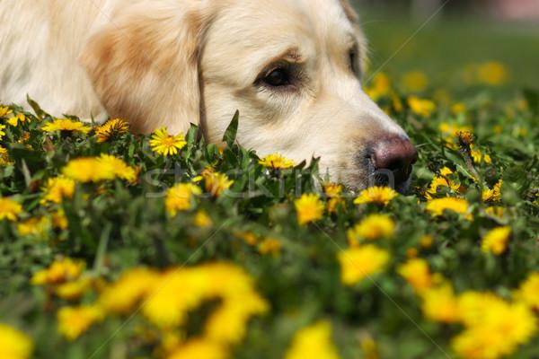 sad Golden Retriever dog laid his head in the grass Stock photo © goroshnikova