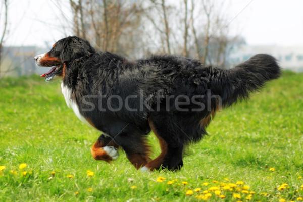 Hermosa boyero de berna diversión verano aire libre perro Foto stock © goroshnikova