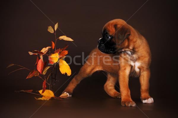 Aranyos piros kutyakölyök boxoló vmi mellett őszi levelek Stock fotó © goroshnikova