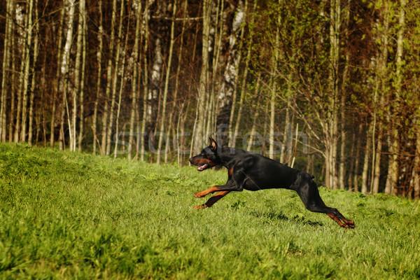 черный доберман холме преследование работу собаки Сток-фото © goroshnikova