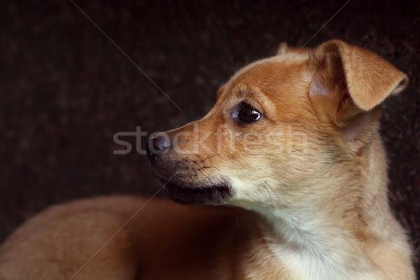 sad red puppy pooch  Stock photo © goroshnikova