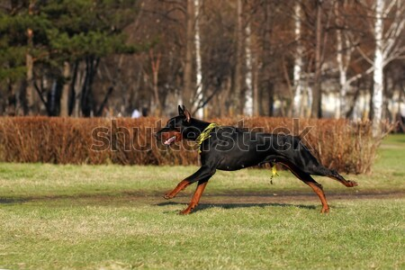 two dogs an Irish setter playing ball  Stock photo © goroshnikova