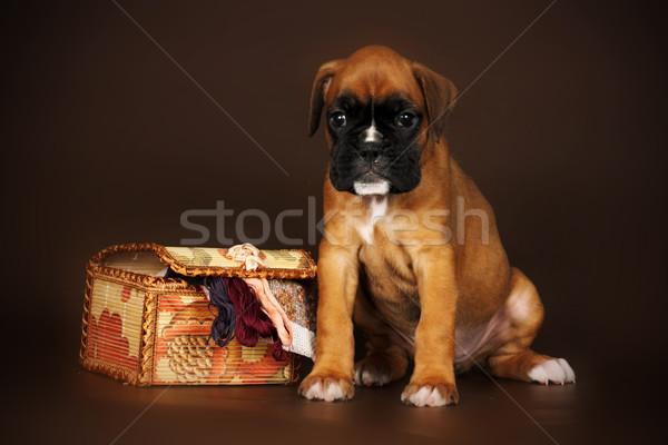 red puppy boxer sitting next to a box of thread Stock photo © goroshnikova