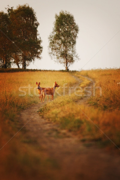 two dogs of breed Pharaoh hound in the field Stock photo © goroshnikova