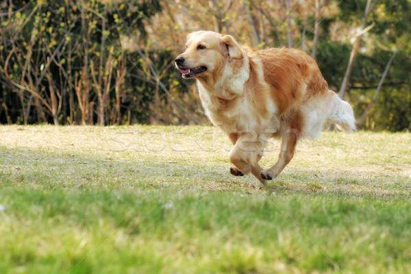Güzel mutlu köpek golden retriever çalışma etrafında Stok fotoğraf © goroshnikova