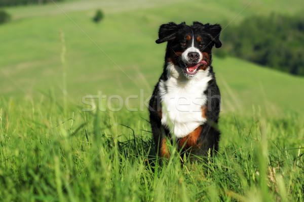 Bella bovaro del bernese divertimento estate esterna campo Foto d'archivio © goroshnikova
