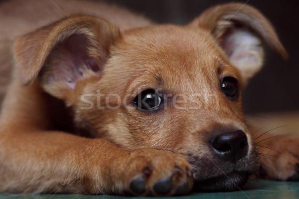 red puppy pooch at the shelter Stock photo © goroshnikova