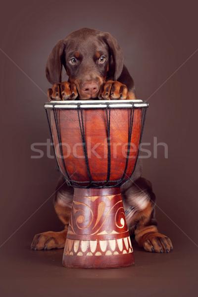 美しい ブラウン ドーベルマン犬 子犬 ドラム スタジオ ストックフォト © goroshnikova