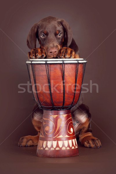 красивой коричневый доберман щенков барабаны студию Сток-фото © goroshnikova