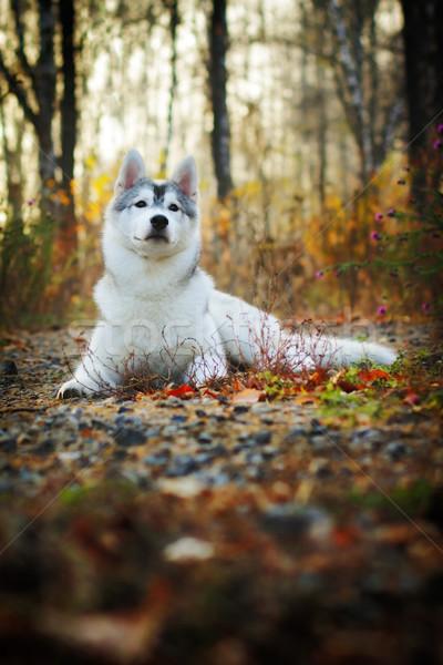 beautiful husky dog outdoors Stock photo © goroshnikova