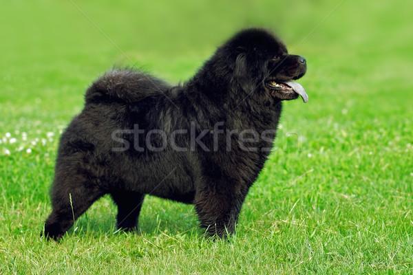 Piękna rzadki czarny kolor pokaż Zdjęcia stock © goroshnikova