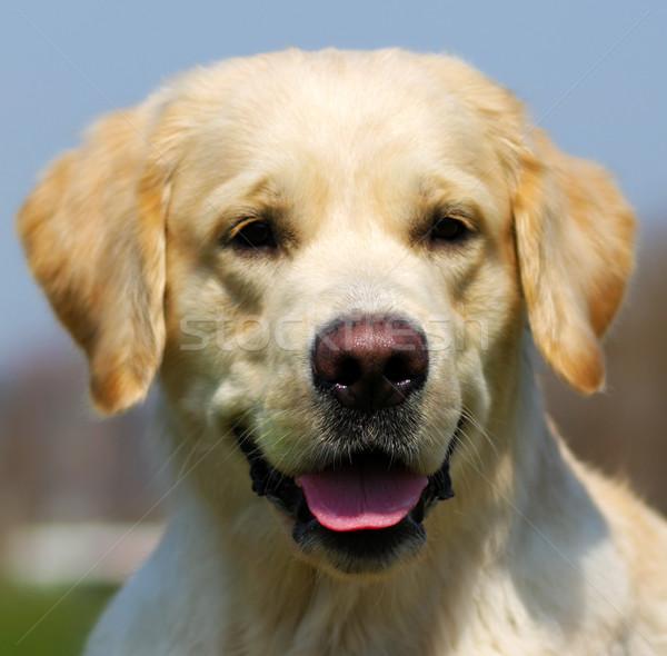 Stok fotoğraf: Mutlu · köpek · golden · retriever · yaz · gökyüzü · gülen