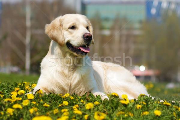Gyönyörű kutyafajta golden retriever nyár fű pitypangok Stock fotó © goroshnikova