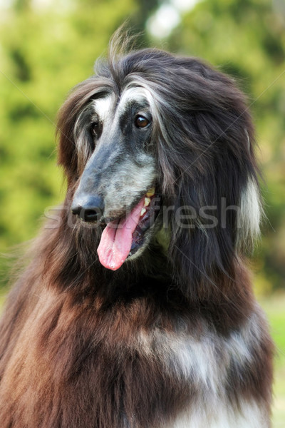 Dog Afghan Hound Stock photo © goroshnikova
