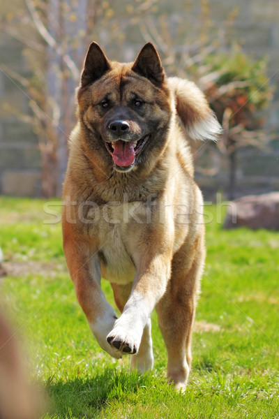happy dog breed Akita inu is running  Stock photo © goroshnikova