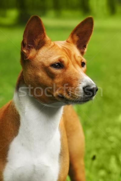 Сток-фото: красивой · собака · ходьбе · улице · лет