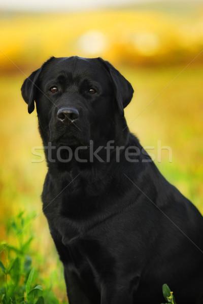 Zwarte hondenras labrador retriever buitenshuis zomer zonsondergang Stockfoto © goroshnikova