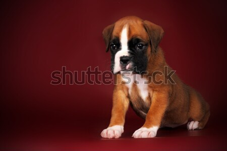 cute puppy purebred boxer with a white face and paws Stock photo © goroshnikova