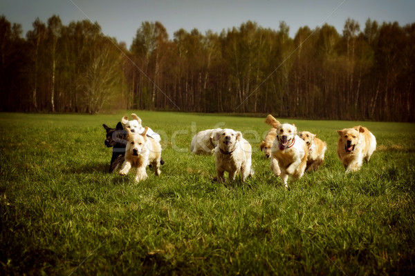 large group of dogs Golden retrievers running Stock photo © goroshnikova