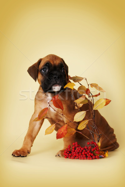 a scared puppy boxer is hiding behind a thin branch with leaves  Stock photo © goroshnikova