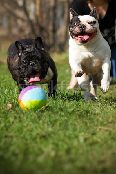 two happy dogs French bulldogs playing ball  Stock photo © goroshnikova