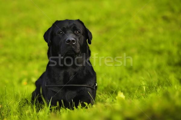 Zwarte labrador retriever hond heldere groen gras Stockfoto © goroshnikova