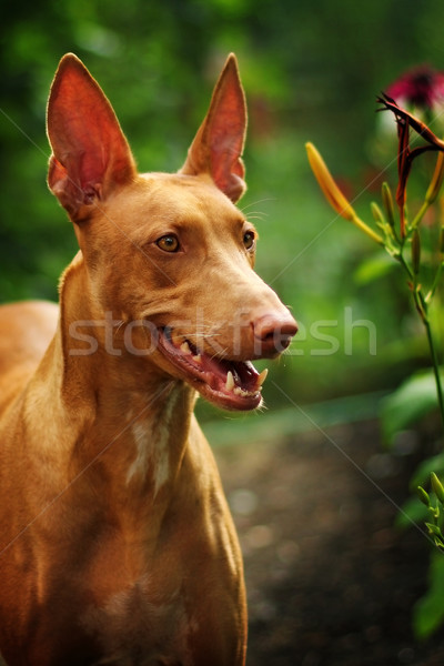 Beautiful portrait of a Pharaoh's dog Stock photo © goroshnikova