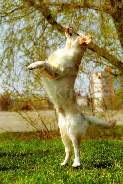 Vicces golden retriever kutya játszik ugrik nyár Stock fotó © goroshnikova
