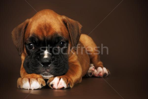 Triest puppy bokser hoofd Stockfoto © goroshnikova