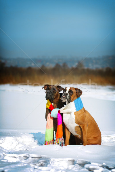 two dogs of breed boxer sitting in the winter on snow, associate Stock photo © goroshnikova