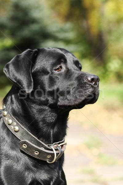 Psa czarny labrador słońce portret Zdjęcia stock © goroshnikova