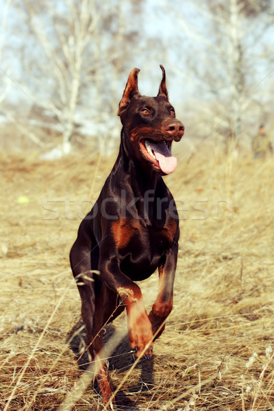 brown dog Doberman Pinscher runs Stock photo © goroshnikova