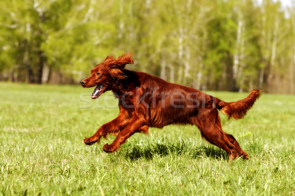 Stock photo: dog Irish setter running