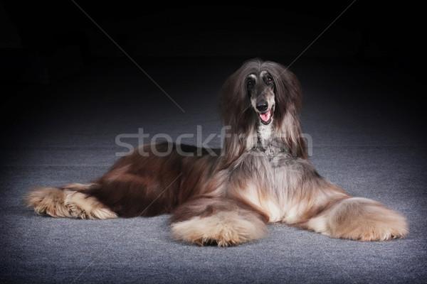 собака красивой гончая глядя весело глазах Сток-фото © goroshnikova