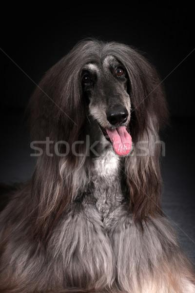 Beautiful Afghan dog on dark background Stock photo © goroshnikova