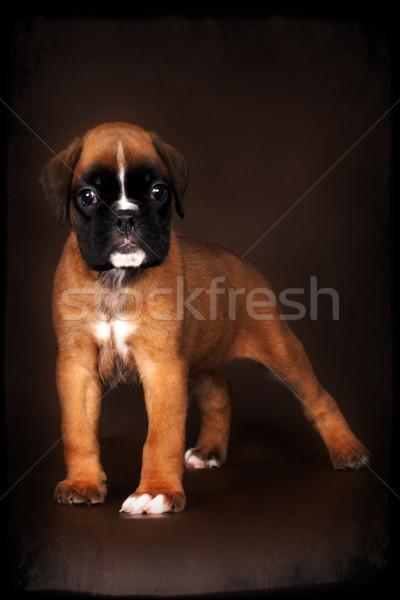 Fajtiszta piros boxoló kutyakölyök kiállítás pozició Stock fotó © goroshnikova