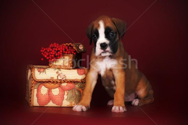 かわいい 子犬 ボクサー 座って 秋 液果類 ストックフォト © goroshnikova