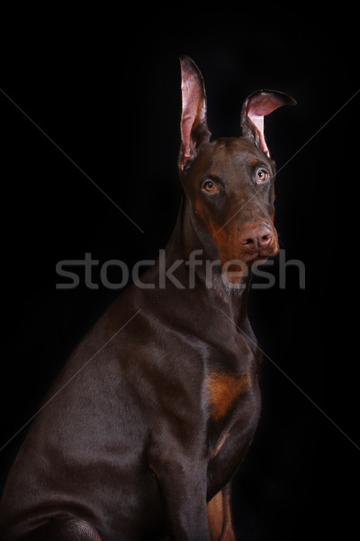 Chocolate Doberman puppy Stock photo © goroshnikova