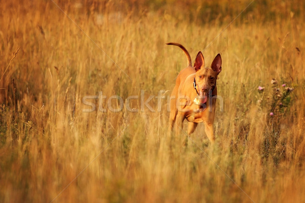 dog breed Pharaoh hound in the field Stock photo © goroshnikova