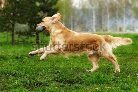 Köpek golden retriever genç mutlu sevinç Stok fotoğraf © goroshnikova