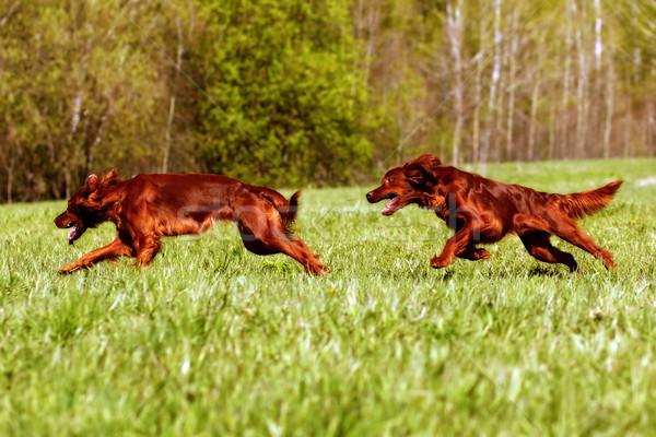 Iki İrlandalı oynamak köpekler diğer yeşil Stok fotoğraf © goroshnikova
