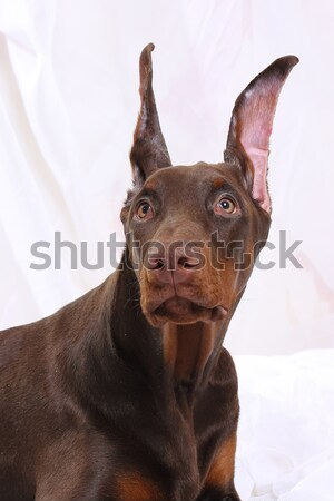 Business dog Doberman tie funny Stock photo © goroshnikova